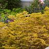 Euphorbia x martinii 'Ascot Rainbow'_8505