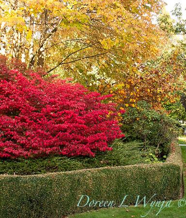 Euonymus alatus 'Compactus' - boxwood hedge - fall color_8441