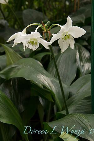 Eucharis amazonica 'Christine' - E  grandaiflora_1193