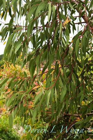 Eucalyptus parvula_007