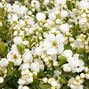 Exochorda macrantha The Bride_004