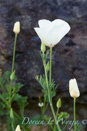 Eschscholzia californica_026