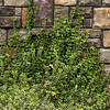 Euonymus fortunei Emerald Gaiety_028M_Doreen Wynja