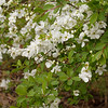 Exochorda macrantha The Bride_030