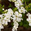 Exochorda macrantha The Bride_033