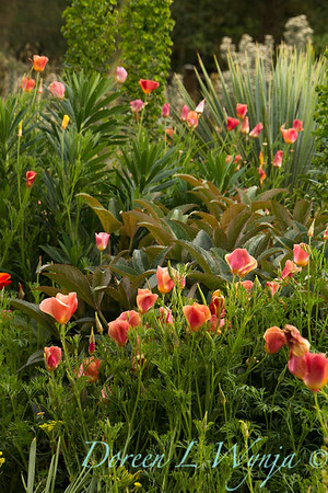 Eschscholzia californica_6858