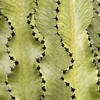 Euphorbia ammak variegata_6494