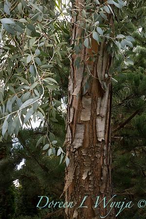 Eucalyptus gunnii_5263