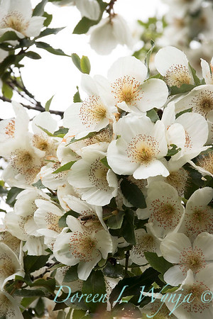 Eucryphia x nymansensis 'Nymansay' blooming_7233