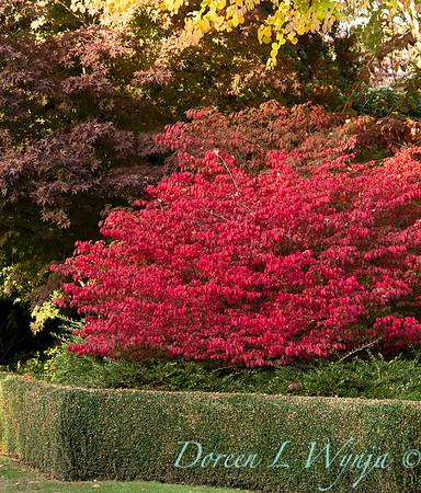 Euonymus alatus 'Compactus' - boxwood hedge - fall color_8438