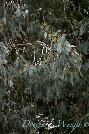 Eucalyptus gunnii_5262