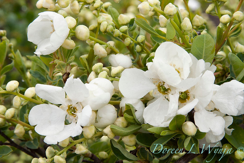 Exochorda macrantha The Bride_008