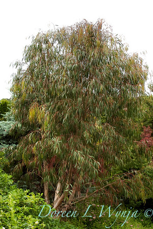Eucalyptus nicholii_002