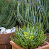 Euphorbia flanaganii Medusa's Head - Aloe 'Blue Elf' - Euphorbia cat-medusae_3885