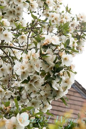 Eucryphia x nymansensis 'Nymansay' blooming_7228