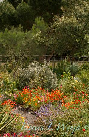 Eschscholzia californica_6857