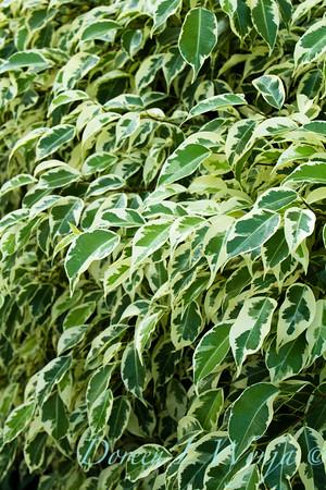Ficus benjamina Variegata_009