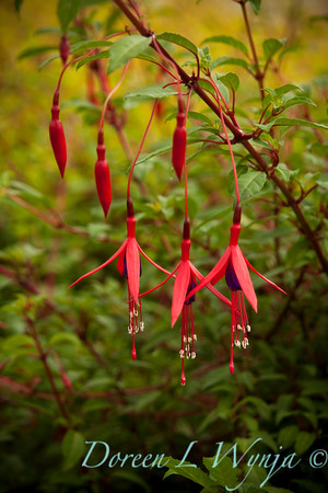 Fuchsia magellanica Windcliff Flurry_002