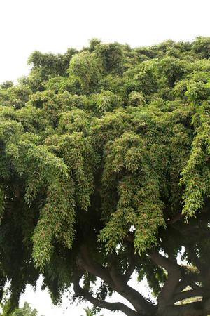 Ficus benjamina_006