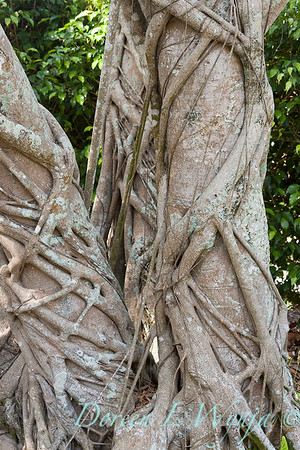 Ficus macrophylla tree trunk_1038