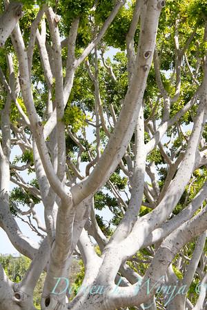 Ficus nitida_017