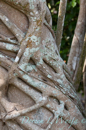 Ficus macrophylla tree trunk_1039