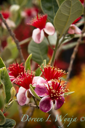 Feijoa sellowiana_021