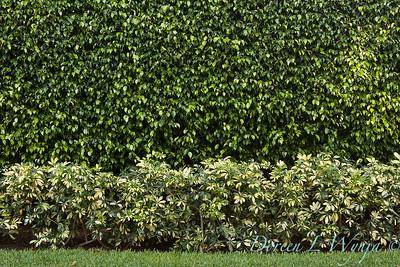 Ficus benjamina - Heptapleurum arboricola double hedge_0044