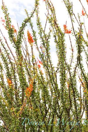 Fouquieria splendens_5755SUN