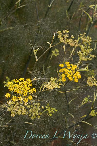 Foeniculum vulgare_039
