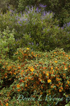 Fremontodendron Ken Taylor_007