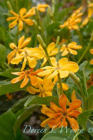 Gardenia tubifera_1455