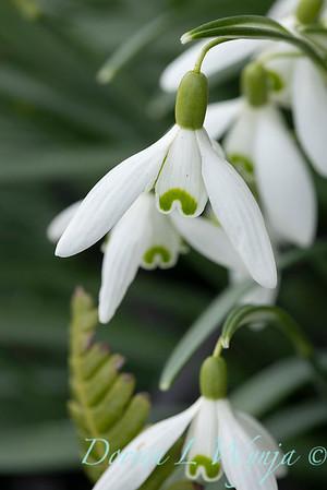 Galanthus nivalis 'Magnet'_5278