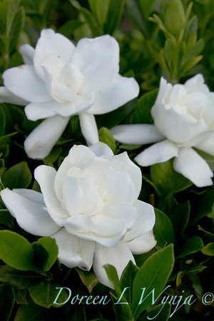 Gardenia jasminoides Summer Snow_004