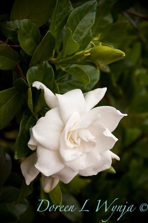 Gardenia augusta Veitchii_004M