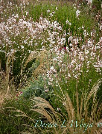 Gaura lindheimeri - Nassella tenuissima garden texture_3558