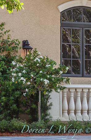 Gardenia jasminoides 'Veitchii' patio tree_0052