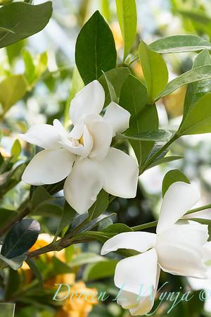 Gardenia jasminoides 'Leeone'_2321