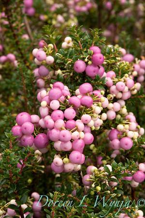 Gaultheria mucronata_003