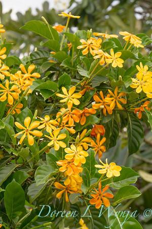 Gardenia tubifera_1436