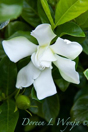 Gardenia jasminoides Summer Snow_002
