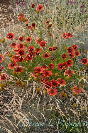 Gaillardia pulchella_4730
