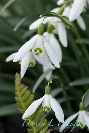 Galanthus nivalis 'Magnet'_5288