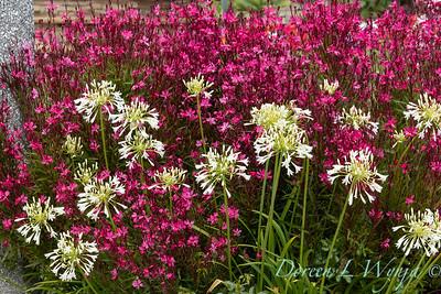 Agapanthus africanus 'Rancho White' - Gaura lindheimeri Bellexa Dark Pink_1038