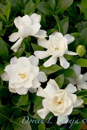 Gardenia jasminoides Summer Snow_007