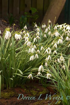Galanthus nivalis_012