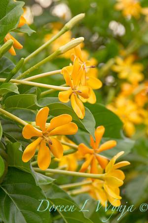 Gardenia tubifera_1439
