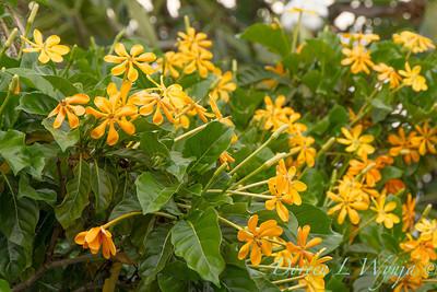 Gardenia tubifera_1450