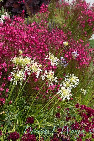 Agapanthus africanus 'Rancho White' - Gaura lindheimeri Bellexa Dark Pink_1041