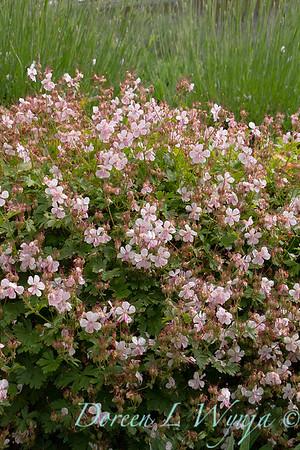Geranium x cantabrigiense Biokovo_001
